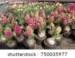 hyacinth. field of colorful...   Shutterstock . vector #750035977