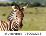 Baby Zebra Standing And Lookin...