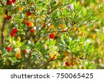 strawberry tree  arbutus.  | Shutterstock . vector #750065425