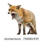 Red Fox  Vulpes Vulpes ...