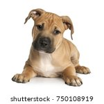 Stock photo brown puppy american staffordshire terrier puppy weeks old in front of a white background 750108919