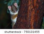Aussie Ringtail Possum Poking...