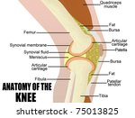 Anatomy of the knee, vector illustration (for basic medical education, for clinics & Schools)