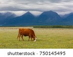 A Lonely Cow Grazing In A...
