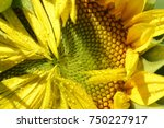 Micro Photo Of Sunflower With...