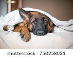 cute german shepherd in a... | Shutterstock . vector #750258031