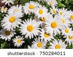 ox eye daisy  leucanthemum... | Shutterstock . vector #750284011