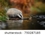 badger running in forest ... | Shutterstock . vector #750287185