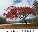 Wide Shot Of A Flame Tree Full...