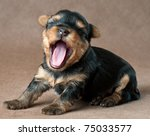 Stock photo puppy of a yorkshire terrier in studio on a neutral background 75033577
