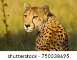 Cheetah In The African Bush An...