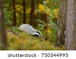 badger in forest | Shutterstock . vector #750344995