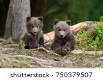 Stock photo wild brown bear cub close up 750379507