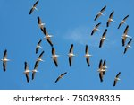 Small photo of Pelicans flying. Formation of pelicans flying for food