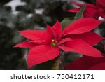 Poinsettia Flower With The...