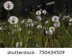 group of dandelion in the field | Shutterstock . vector #750434509