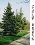 Small photo of Park on Ada rows of big green Christmas trees, Belgrade