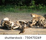 hyenas pick at and eat the... | Shutterstock . vector #750470269