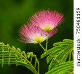 Small photo of The flowers of the Albizia julibrissin