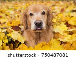 golden retriever dog in a pile... | Shutterstock . vector #750487081