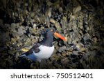 Small photo of The American Oystercatcher