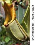 nepenthes rajah pitcher...   Shutterstock . vector #750524035