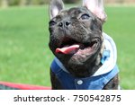 brindle french bulldog enjoying ... | Shutterstock . vector #750542875