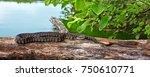 Northern Water Snake  Nerodia...