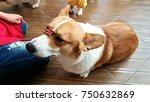 welsh corgi  teaching a dog to...
