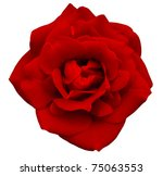 Stock photo red rose isolated on the white background 75063553