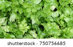 fresh green parsley close up... | Shutterstock . vector #750756685