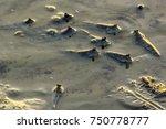 Mudskipper Walking And Swimmin...