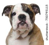close up of english bulldog...   Shutterstock . vector #750795115