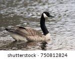 Closeup Of A Male Canada Goose...