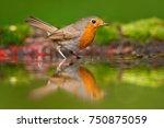 european robin  erithacus... | Shutterstock . vector #750875059
