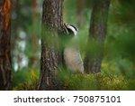 badger in forest  animal nature ... | Shutterstock . vector #750875101
