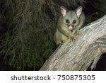 Australian Brush Tail Possum