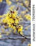hamamelis or witch hazel flower ... | Shutterstock . vector #750900994