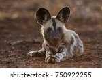 african wild dog in the bush... | Shutterstock . vector #750922255