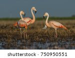 flamingos on a lagoon  pampas   ... | Shutterstock . vector #750950551