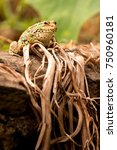 Small photo of portrait of Perez's Frog (Pelophylax perezi) resting on dry vegetation on pond's bank on Madeira, Madeiran species of amphibian Iberian waterfrog
