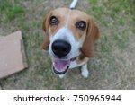 Happy Beagle Dog