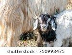 goats graze on pasture ... | Shutterstock . vector #750993475