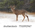 White Tailed Deer Buck With A...