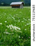 Small photo of Pearl of Achillea on a flower meadow in Bavaria and vertical format
