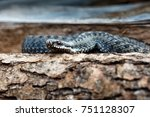 vipera berus snake | Shutterstock . vector #751128307
