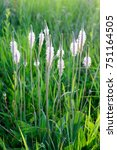 Small photo of blossoming grass family