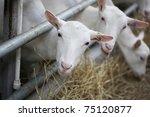 Domestic Goats In The Farm