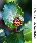 Ladybug Spreading It's Wings O...