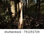 tree trunks lit up by the... | Shutterstock . vector #751251724